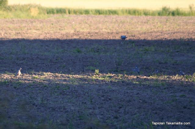 Sepelkyyhkyjä pellolla