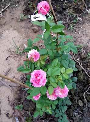 Bụi hoa hồng sọc Claude Monet rất bắt mắt tại Sa Đéc