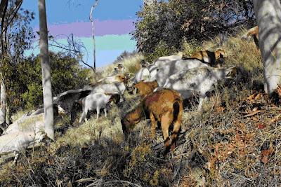 Nanny & Billy goats