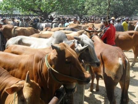 Harga hewan kurban di kabupaten ngawi 2014