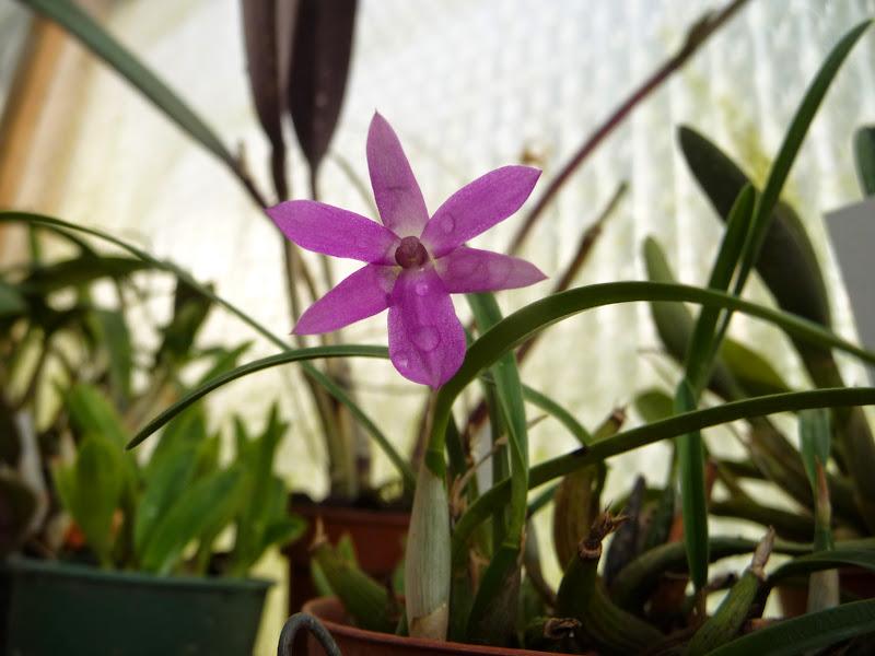 Isabelia (Sophronitella) violacea P1210989