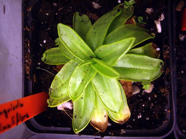 photos de mes orchidées en fleur - Page 2 IMGP4815