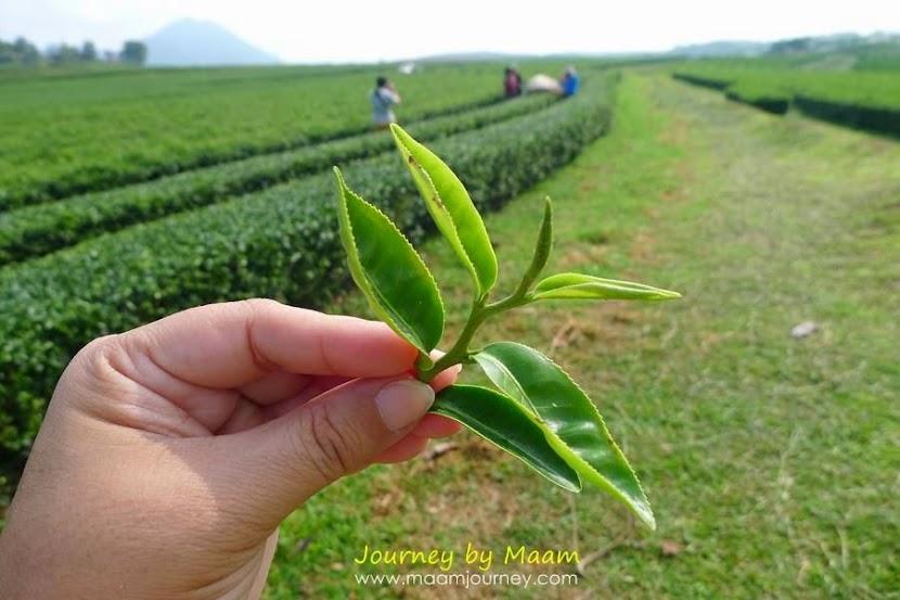 ชาเขียวญี่ปุ่นแท้_ไร่ชาเขียว_ไร่บุญรอด_4
