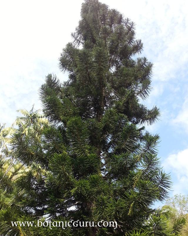 Araucaria heterophylla, Pagoda Pine