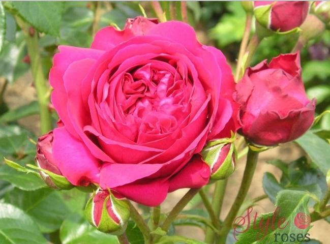 Chùm hoa hồng leo Mộng Vy (Red Eden rose)