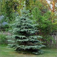 Picea pungens 'Glauca' - Świerk kłujący pokrój