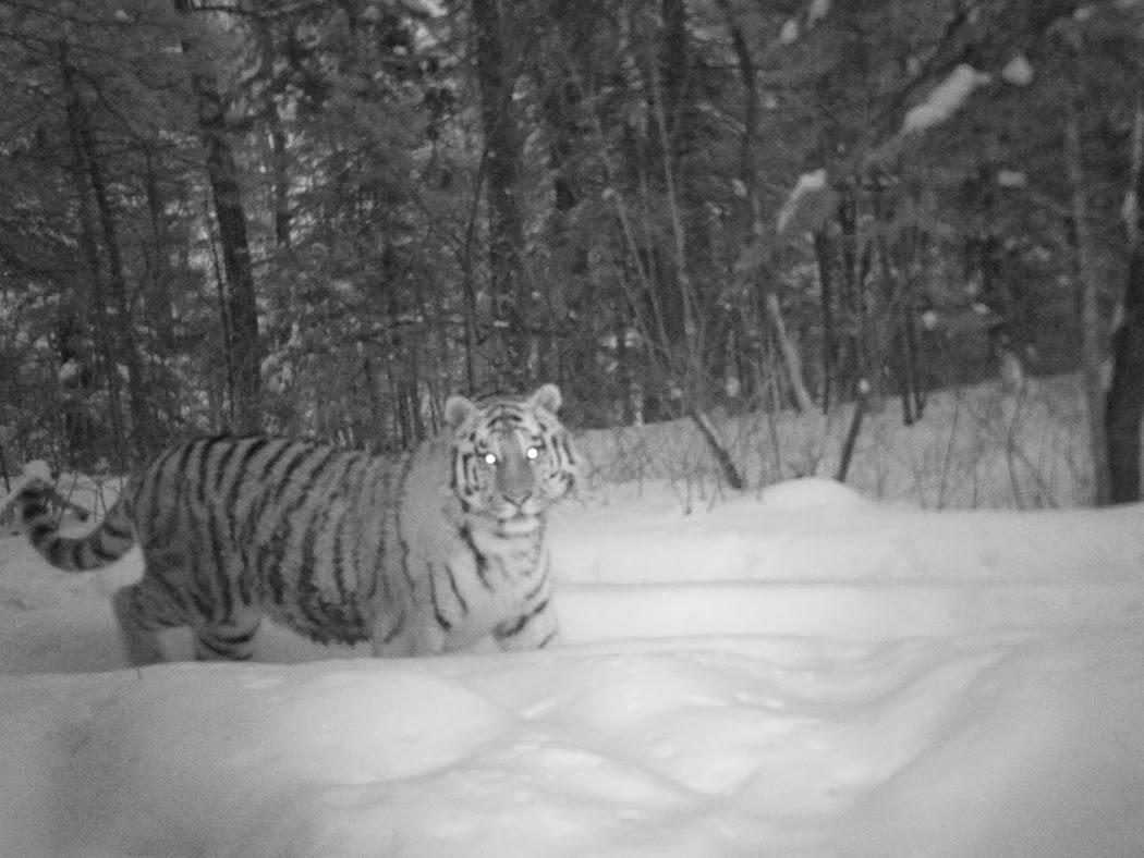 Как охраняют Амурского тигра