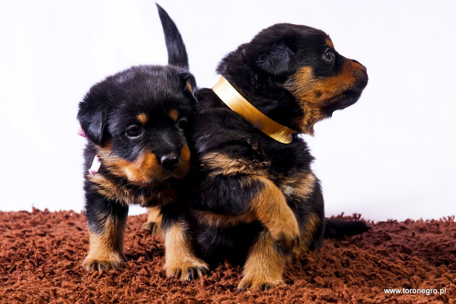 Rottweilery z domowej hodowli toro negro