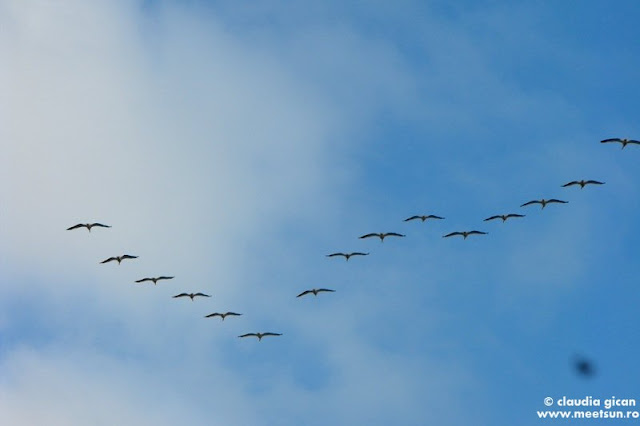 Delta Dunarii - pelicani in zbor