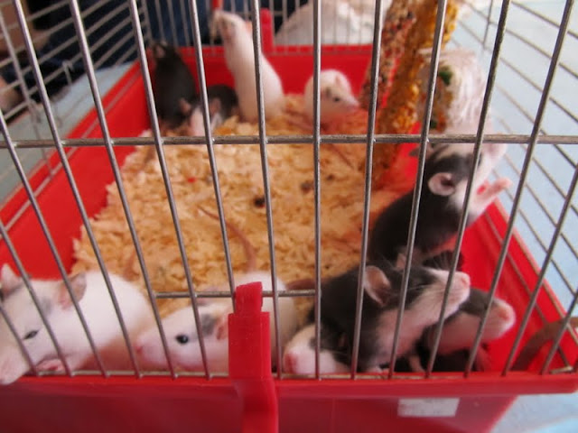 Our Rattus norvegicus - updated with 13 kittens IMG_0156