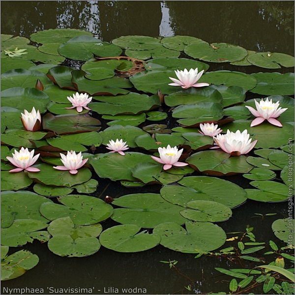 Nymphaea 'Suavissima' habit - Lilia wodna pokrój