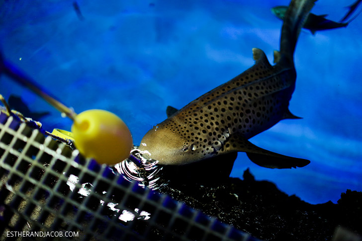 Zebra Shark Feeding at the Mandalay Bay Shark Reef Aquarium.