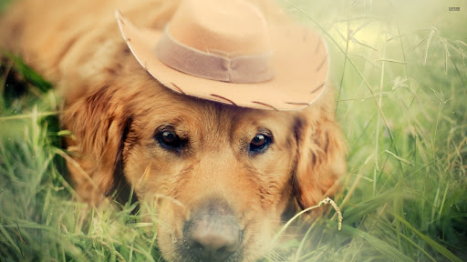 Golden Retriever with Cowboy Hat