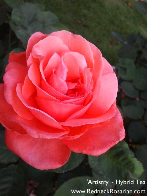 Great Garden Rose Artistry Hybrid Tea The Redneck Rosarian