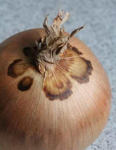 an onion with weirdly pretty discoloration