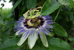 Maypop Passion-flower