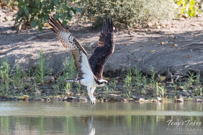 A male Osprey makes a low level flight across a pond in Longmont, Colorado. (© Tony's Takes)