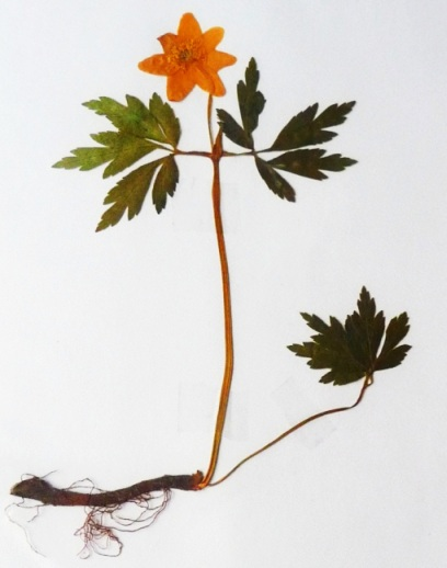 Zawilec gajowy Anemone nemorosa