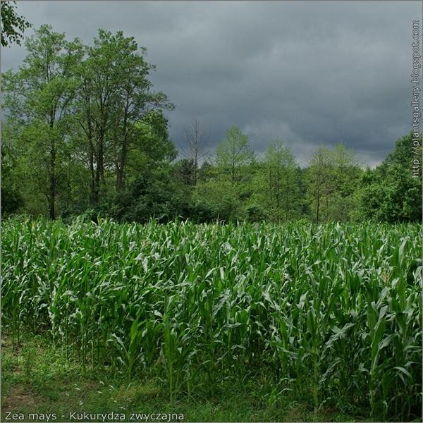 Zea mays - Kukurydza zwyczajna uprawa