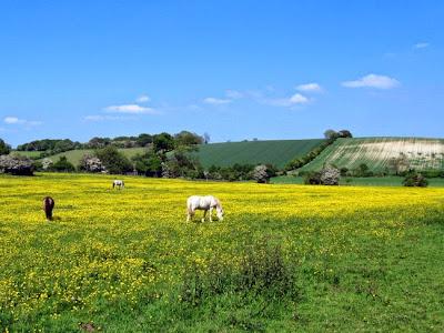 Horses grazing in yellow field