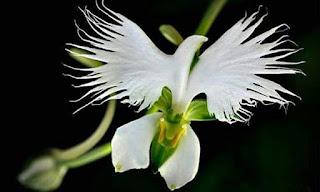 Hoa đẹp tạo dáng giống chim bồ câu tung cánh