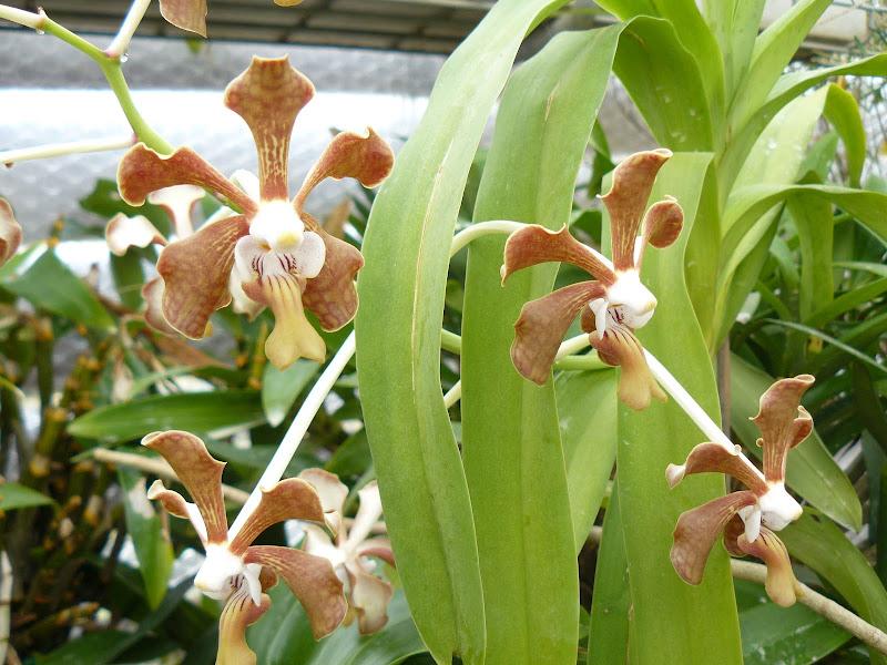 Vanda Mariannae (denisoniana x tricolor) P1030115