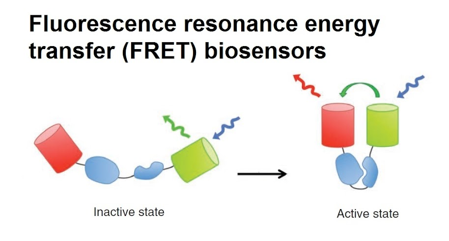 Diagram of FRET biosensor