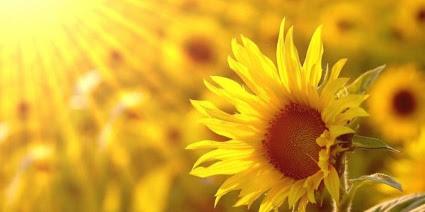 Những bài thơ viết về Hoa Hướng Dương hay nhất