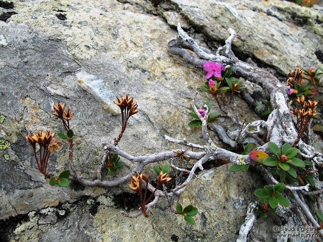 rododendron cu flori trecute, flori proaspete sau abia înmugurite