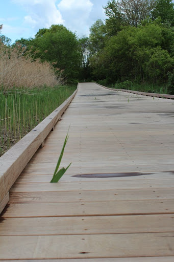 weeds growing up through a boardwalk over a swamp