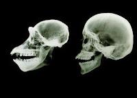 κρανίο πιθήκου,κρανίο ανθρώπου,ακτινογραφία κρανίου,apes skull,human skull,x-rays skull
