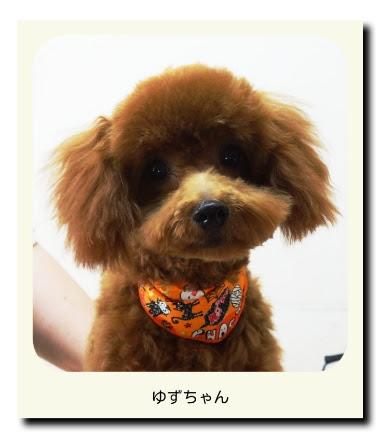 トイプードル(パピー・子犬)のゆずちゃん