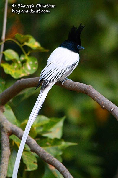 Asian Paradise Flycatcher [Male]