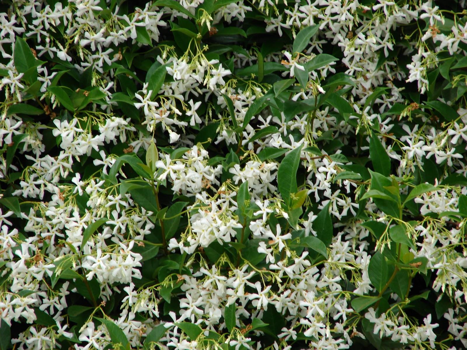 gold hill plant farm the difference between carolina jessamine, Beautiful flower