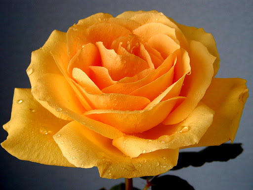 Yellow_Rose_Flowers.jpg