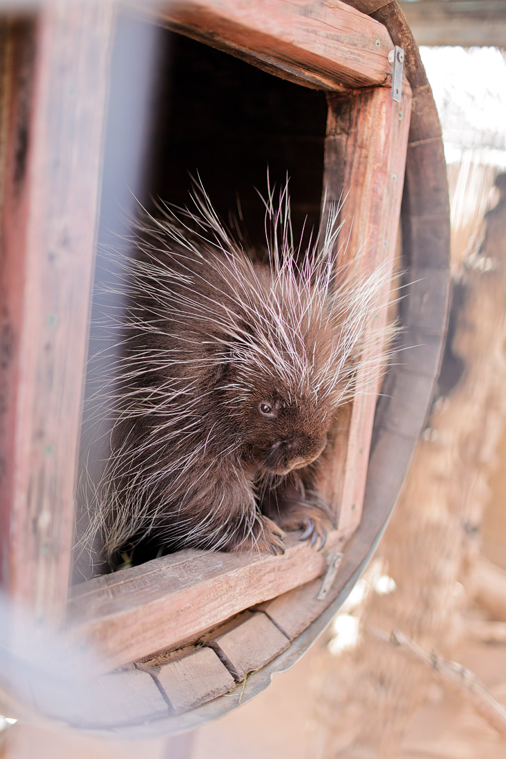 North American Porcupine at an Exotic Petting Zoo in Las Vegas.