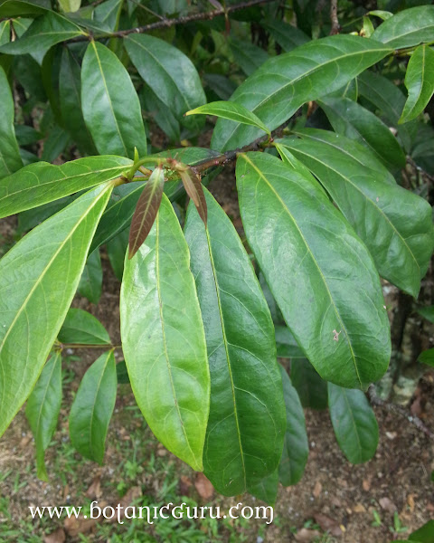 Phaleria clerodendron leaves