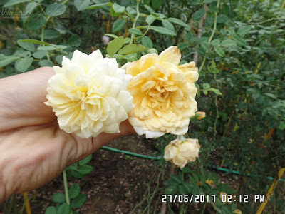 The Pilgrim rose