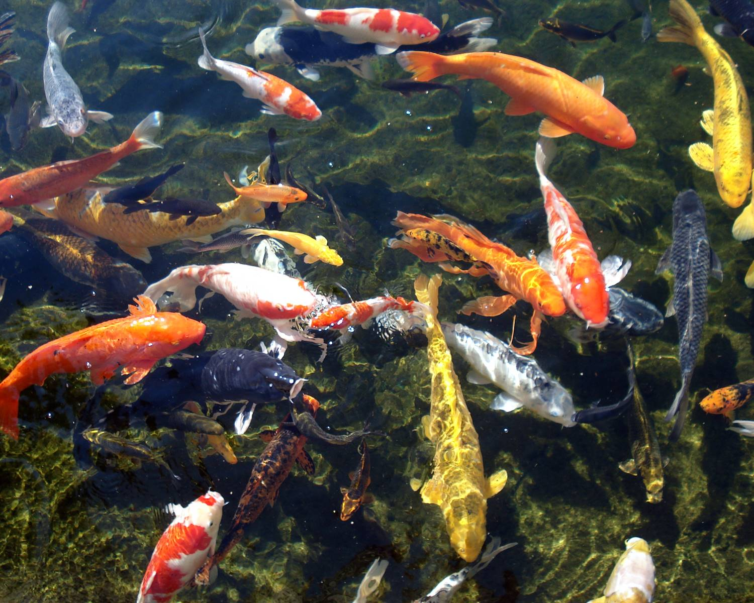 The fish file pond fish for Pond fish species