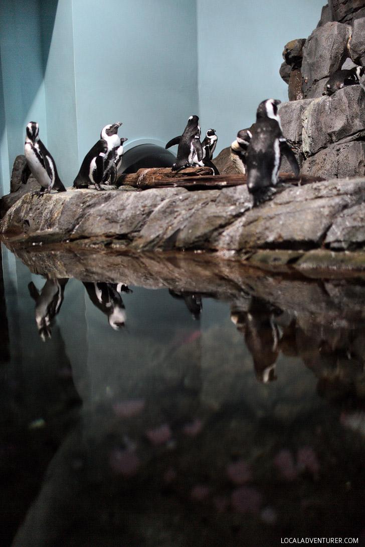 African Black Footed Penguin {The Monterey Bay Aquarium California}.