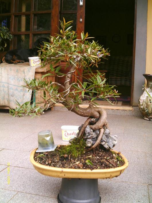 Ficus Nerifolia, Uma raiz de 3 anos... - Página 2 IMAG0205