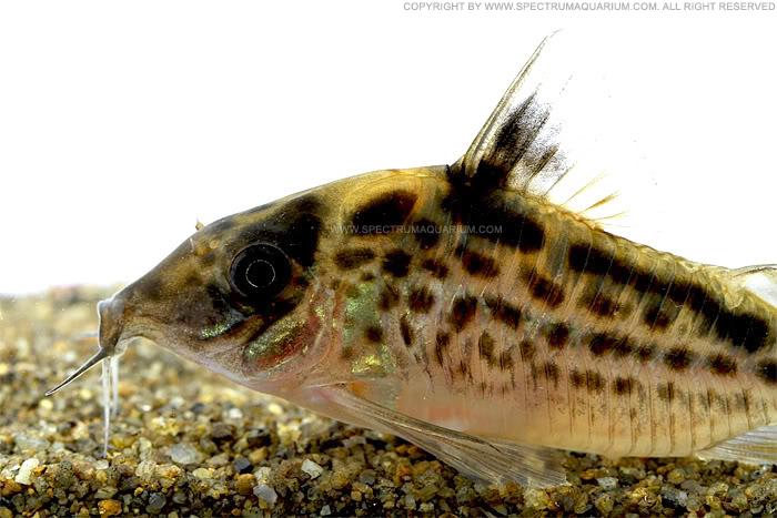 Spectrum Aquarium: Corydoras sp. cf.