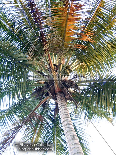 First shot of a coconut tree