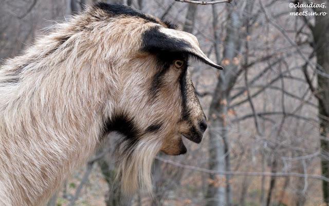 o capra