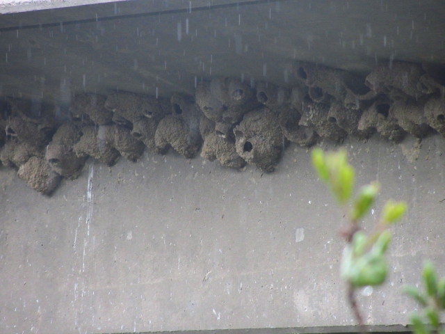 mud swallow nests