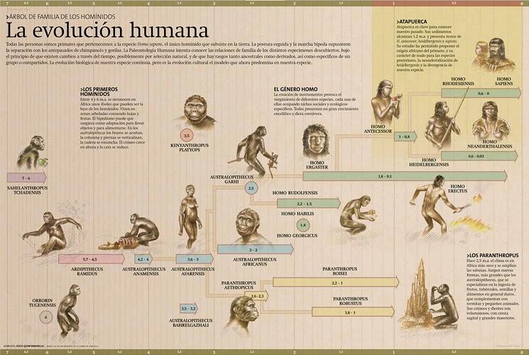 Rama evolutiva del género Homo, donde se representan las especies conocidas. Pincha para ver más grande. Revista de Atapuerca. Las antiguas teorías colocaban al hombre al final de una línea evolutiva. Hoy es un árbol de múltiples especies humanas extintas salvo la del H. sapiens.