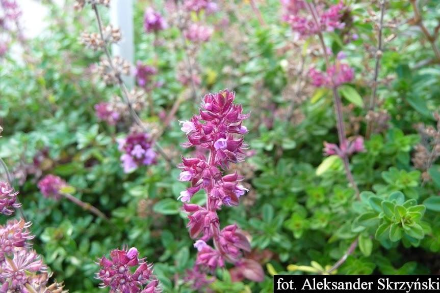 Macierzanka zwyczajna podczas kwitnienia Thymus pulegioides blooming
