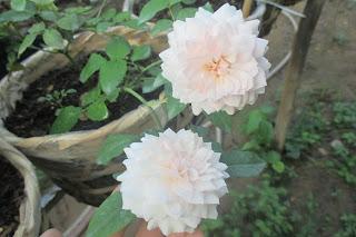 Hồng Misaki tại vườn hồng Vân Loan, Sa Đéc