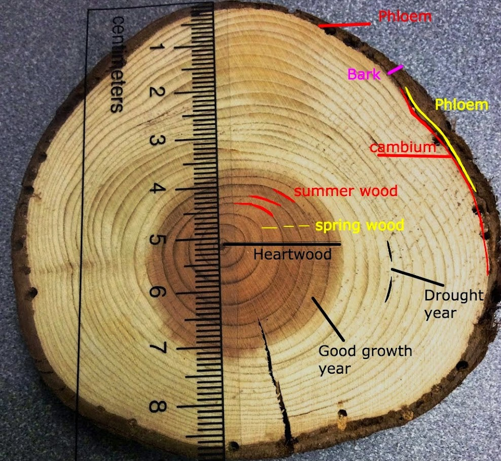 tree ring dating and climate change The divergence problem is a physical phenomenon - tree growth has slowed or declined in the last few decades, mostly in high northern latitudes the divergence problem is unprecedented, unique to the last few decades, indicating its cause may be anthropogenic the cause is likely to be a combination.