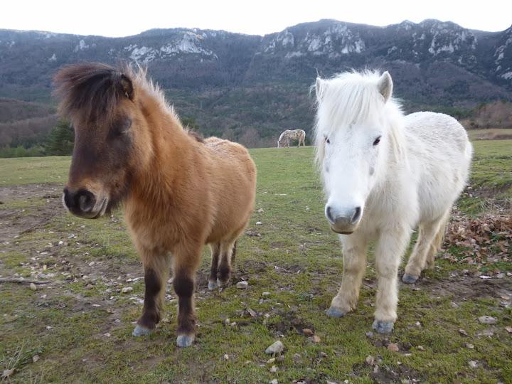 Pyrenean ponies